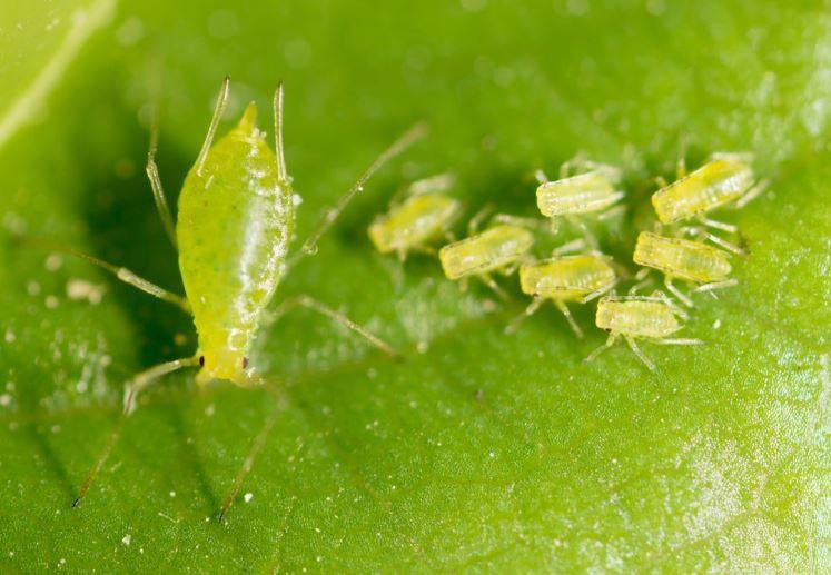 Bestrijding tegen bladluis