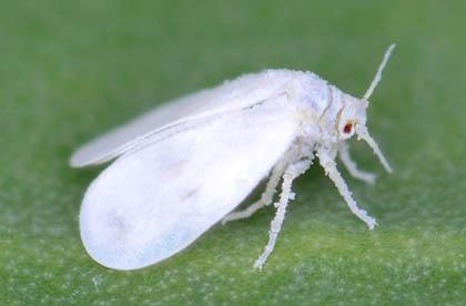 Bestrijding tegen wittevlieg